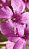 Petite photo d'une antigone rose à cinq pétales