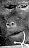 image d'un babouin souriant