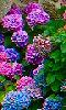 Avatar des hortensias