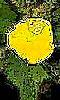 dessin de fleurs,bouton d'or