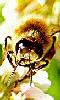 Petite image d'une abeille.