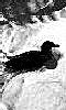 Petite photo en noir et blanc d'un canard sur un étang