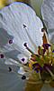 Avatar du coeur d'une fleur de poirier
