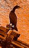 Petite photo d'un cormoran