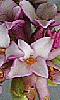 Petite photo de fleurs de daphné.