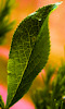 Petite photo d'une feuille verte