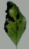Petite image d'une feuille d'arbre noircie par l'hiver
