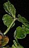 Avatar des feuilles de géranium