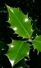 Avatar des feuilles de houx