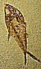 Petite photo du fossile d'un poisson.