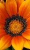 Avatar d'une fleur, une gazanie