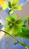 Petite photo d'une fleur d'hellébore.
