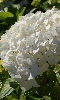 Avatar d'un hortensia blanc.