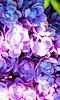 Petite photo d'une fleur de lilas