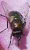 Petite photo d'une mouche dor�e