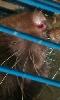 Petite image du museau d'un rat curieux