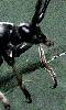 Avatar d'un insecte volant et sautant, un orthopt�re