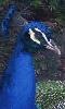 Petite photo d'un paon bleu.