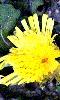 Avatar d'une fleur de pissenlit
