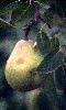 Petite image d'une poire