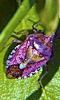 Petite photo d'une punaise violette, l'insecte.