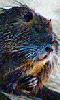 Petite image d'un ragondin