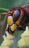 Avatar de la t&ecircte d'une gu&ecircpe