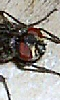 Avatar de la t&ecircte d'une mouche
