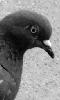Petite photo d'un pigeon
