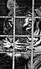photo d'un tigre en cage