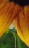 Avatar des couleurs du tournesol