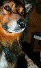 Avatar d'un chien roux.