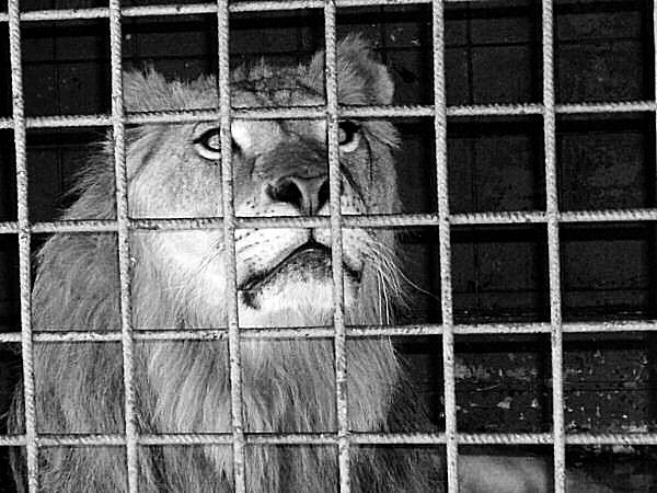 Trois lions de cirque saisis en Gironde