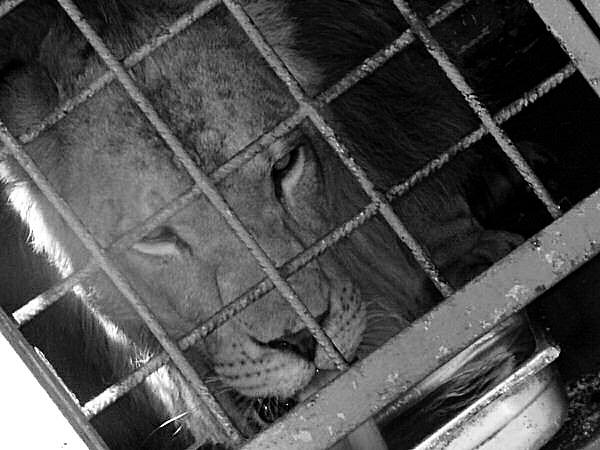 image d'un lion en captivité