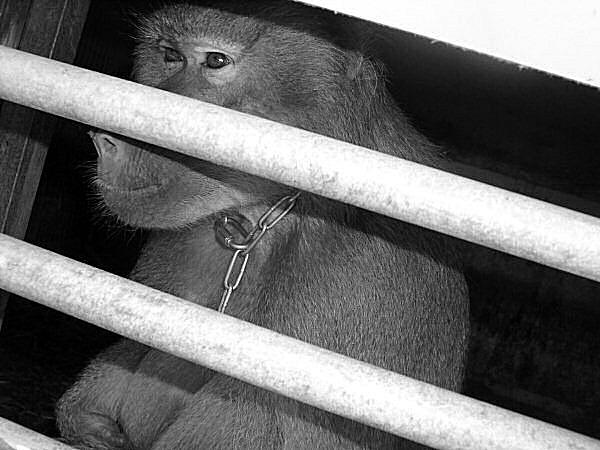 photo du collier d'un babouin