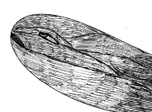 Un dessin sur moby-dick