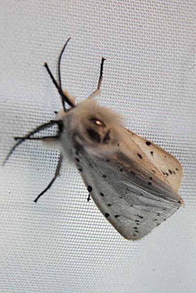 Photo d 39 un papillon de nuit - Invasion papillon de nuit ...