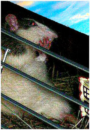 Image d'un rat masqué  et d'un coin de ciel bleu