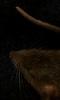Petite image abstraite d'un rat agouti