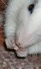 Petit portrait de Chouki, le rat