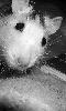 Avatar d'un jeune rat