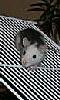 Avatar d'un jeune rat husky