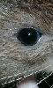 Avatar de l'oeil d'un rat
