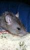 Avatar d'un rat gris
