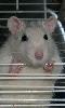 Avatar d'un rat presque blanc