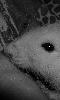 Petite photo en noir et blanc d'un rat