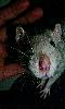 Petite photo d'une caresse à un petit rat