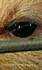 Petite image de l'oeil noir d'un rat