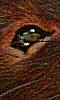 Petite image de l'oeil brillant d'un rat
