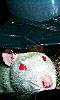 Petite photo d'un rat albinos dans une poubelle